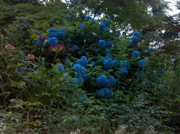 a bush of blue hydrangea