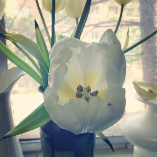 white tulip in bloom